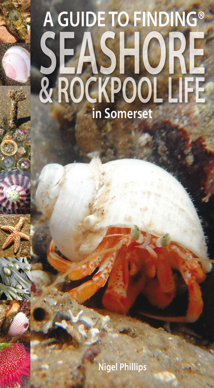 Guide to Finding Seashore and Rockpool Life in Somerset